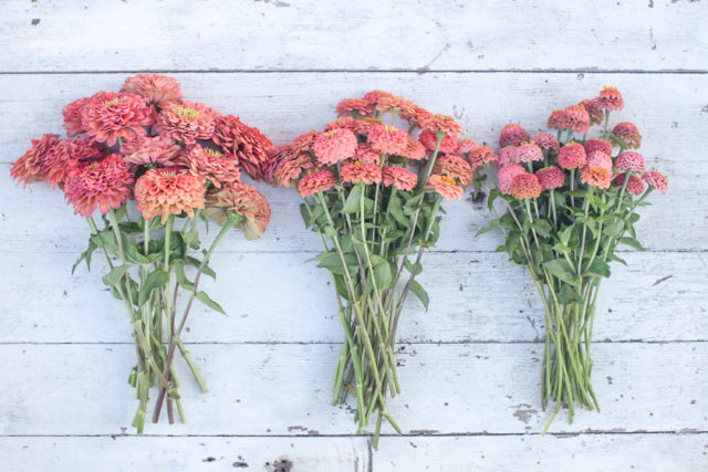 Overhead photo of bunches of salmon-colored zinnias