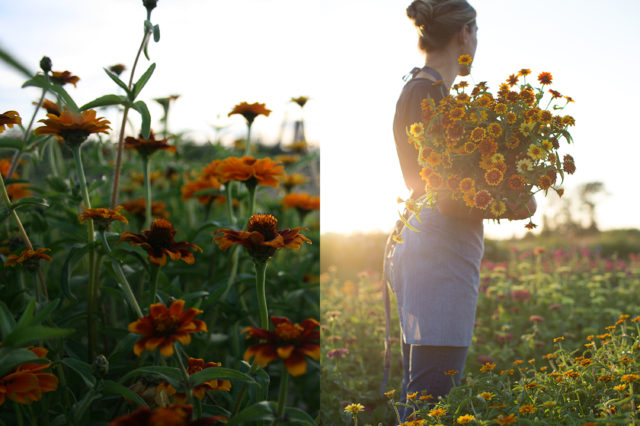Armload of Zinnias at sunset at Floret Flower Farm