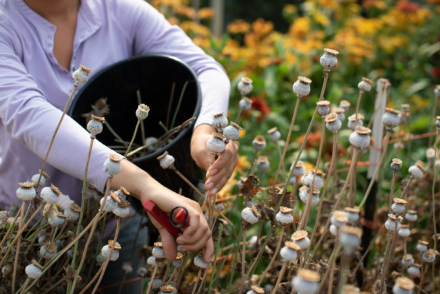 Harvesting Breadseed Poppy pods at Floret Flower Farm