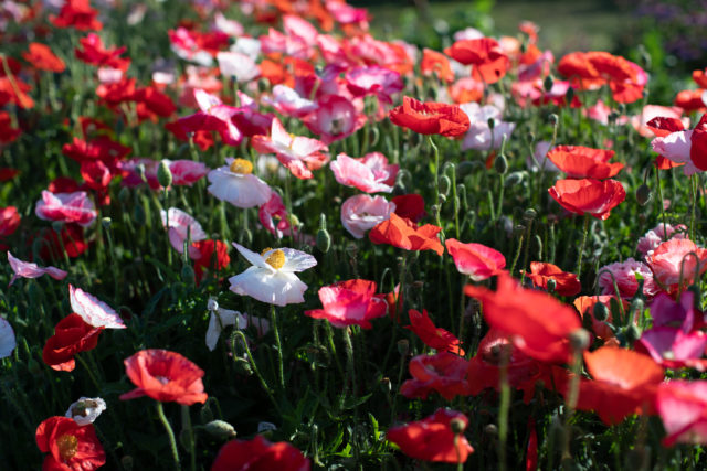 Field of Shirley Poppies at Floret Flower Farm