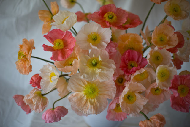 Iceland Poppies at Floret Flower Farm