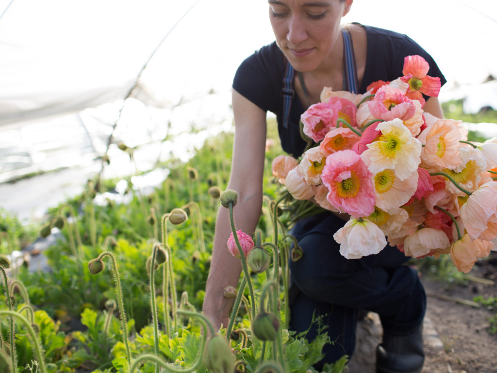 Erin Benzakein harvesting Iceland Poppies at Floret