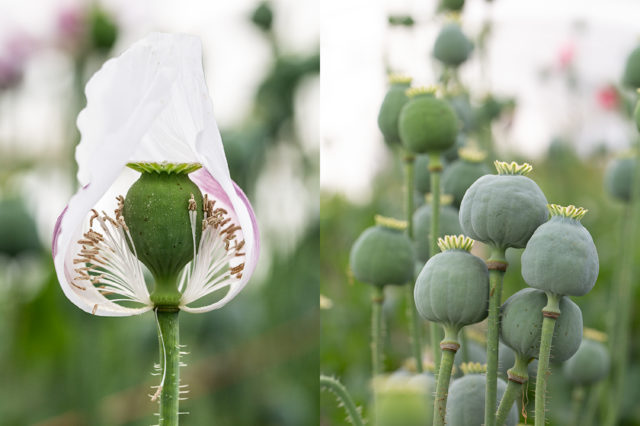 Breadseed Poppy pods at Floret Flower Farm