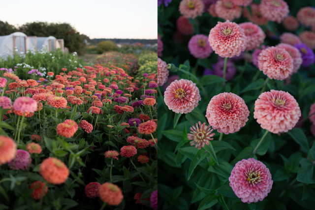 salmon coral colored zinnias