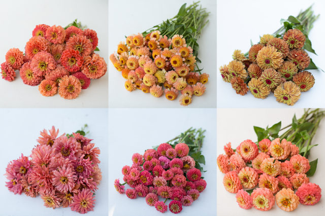 peach and salmon and coral zinnias