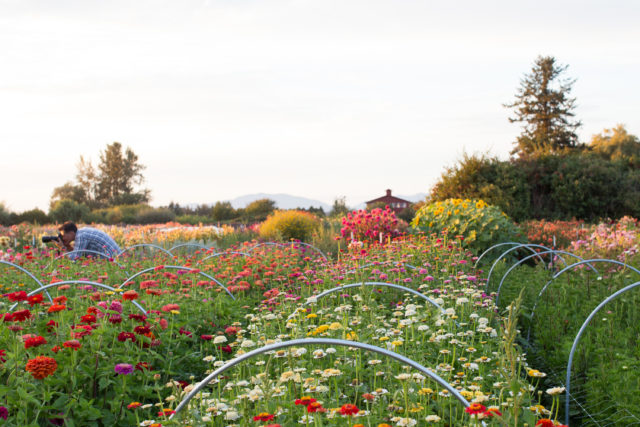 Field of zinnias at Floret Flower Farm