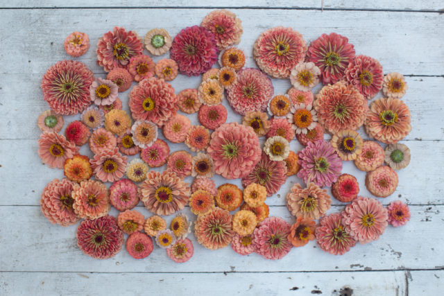 peach and coral colored zinnia flowers ombre