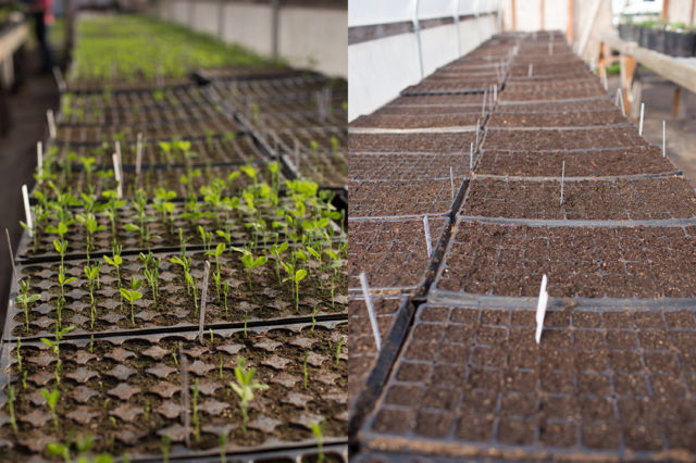 Trays of flower seedlings at Floret