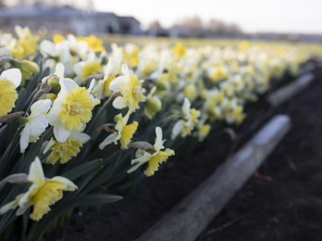 A Week In Flowers Daffodils at Floret Farm Week 14