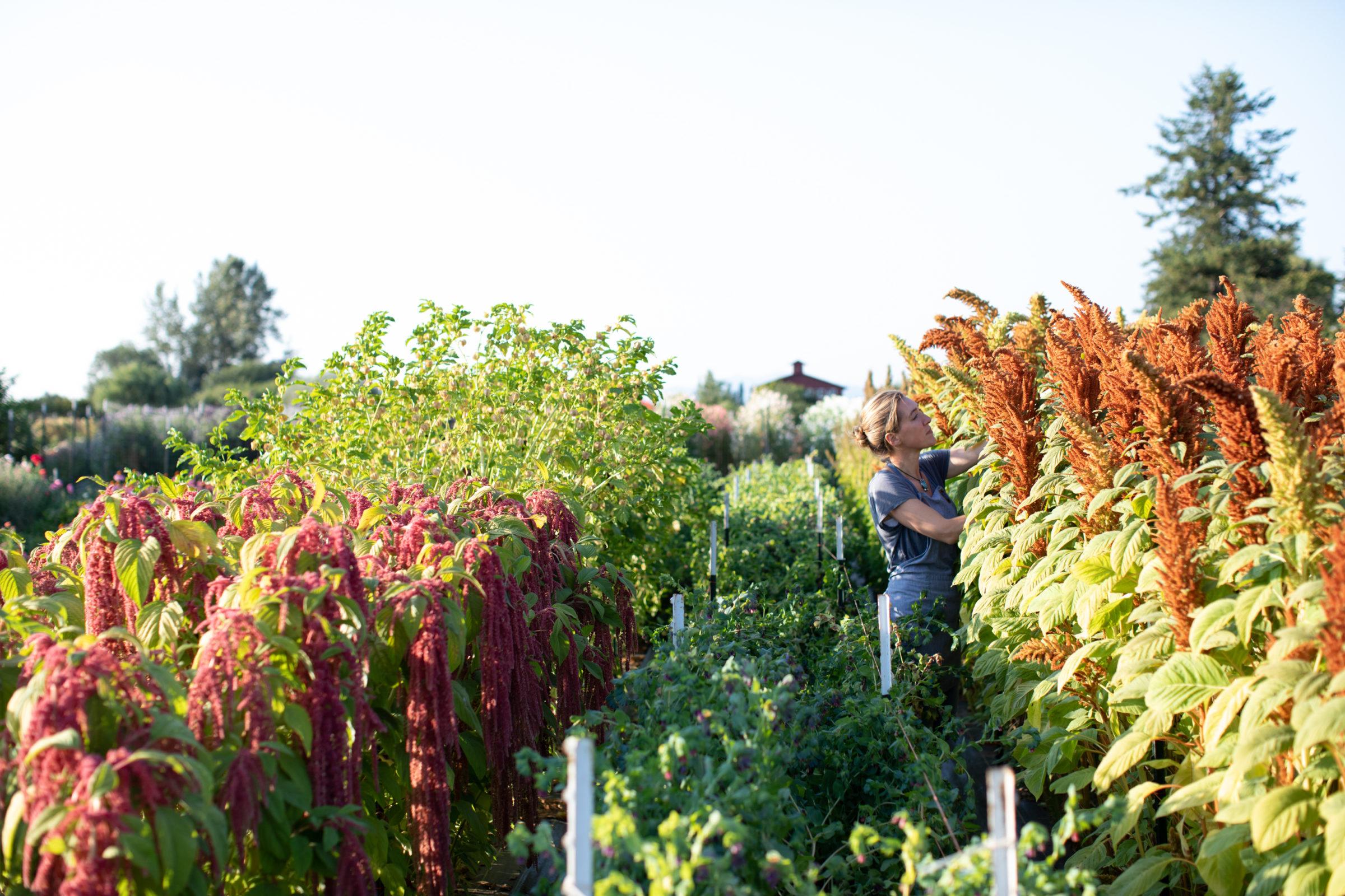 Erin Benzakein harvesting amaranth