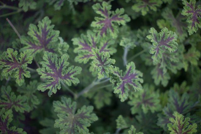 Chocolate scented geranium