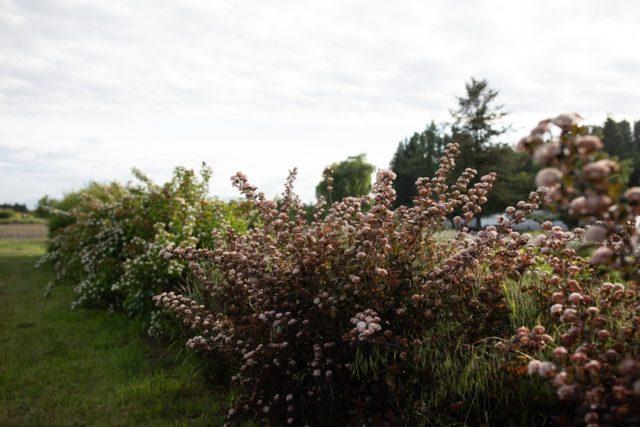 Ninebark blooming