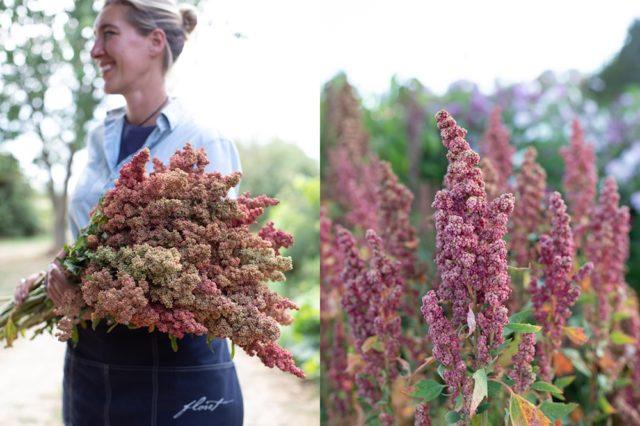 Quinoa redhead