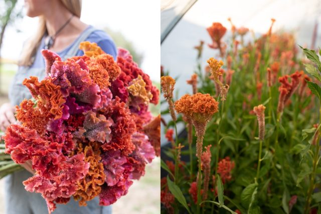 Mixed bright colors of celosia flowers
