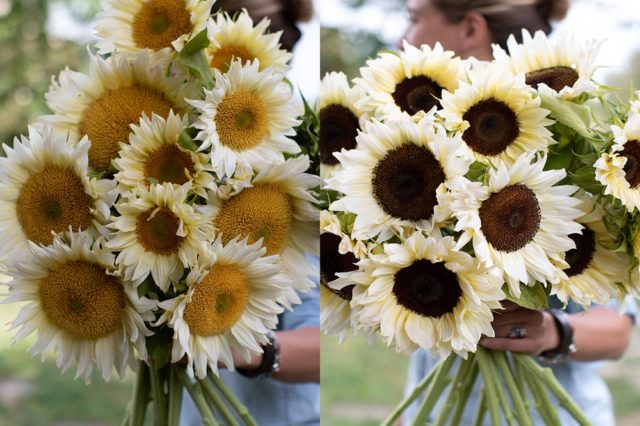 Sunflowers with white petals