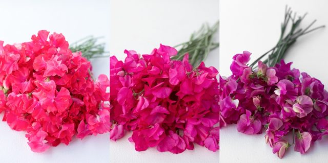 Bright pink sweet peas