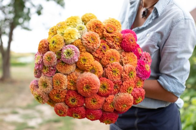Zinnia color mix