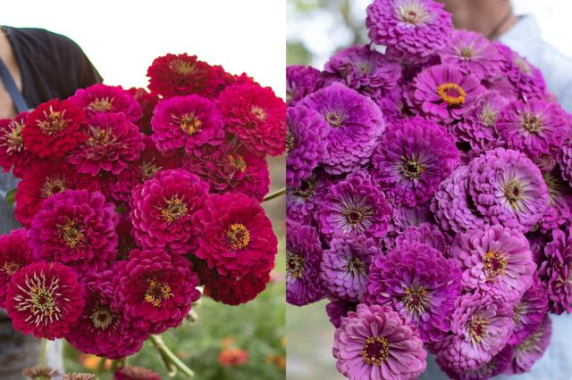 Wine and lilac zinnias