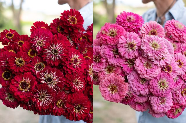 Red and pink zinnias