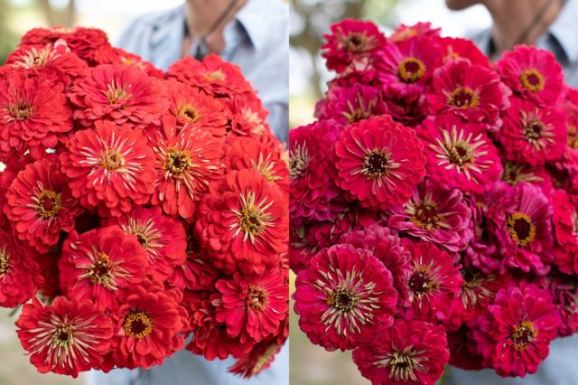 Bright coral and carmine zinnias