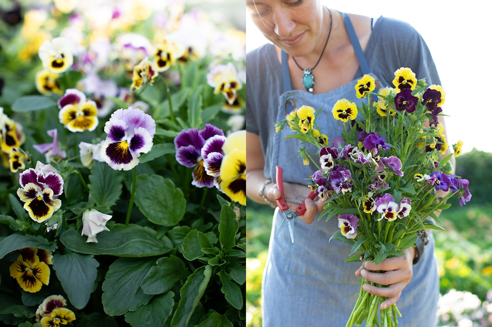 Pansies and violas for cutting