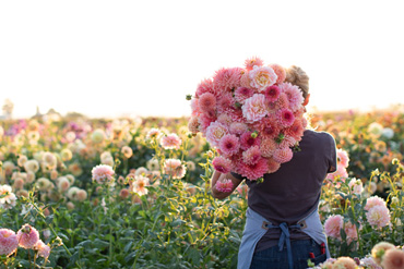 Erin Benzakein in the field with an armload of dahlias