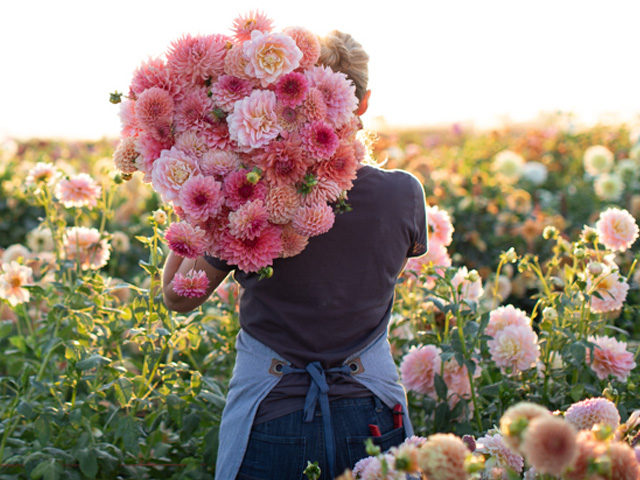 Erin Benzakein with an armload of pink dahlias in the Floret field
