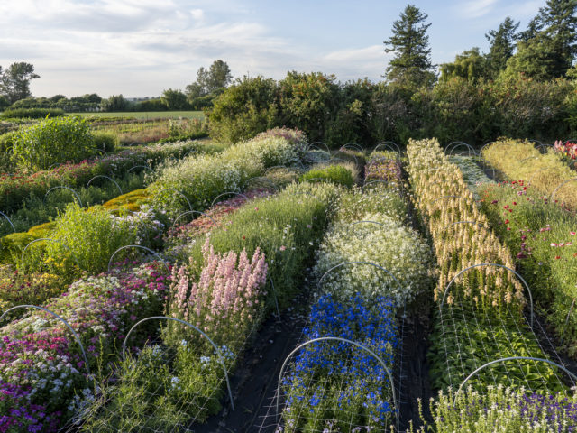 Rows of colorful flowers at Floret Flower Farm