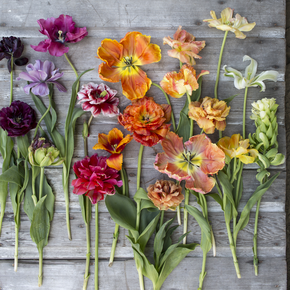 Laydown of colorful specialty tulips