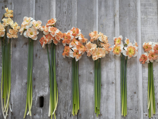 Overhead view of daffodil bunches