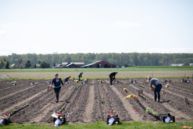 floret team planting dahlia tubers in the field