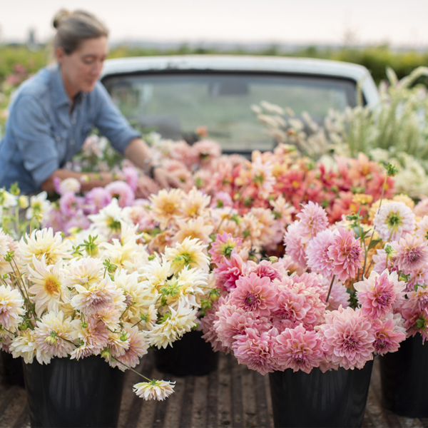 Erin Benzakein loads buckets of dahlias in the bed of the Floret truck